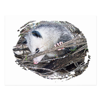 Carte Postale Opossum d'opossum