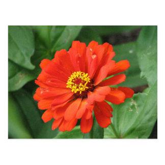 Carte postale orange de fleur de Zinnia