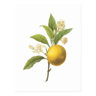 Carte Postale orange (espèces d'agrume) par Redouté