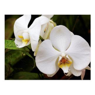 Carte Postale Orchidée blanche de lune (Aphrodite de