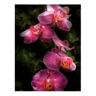 Carte Postale Orchidée - Phalaenopsis - le groupe