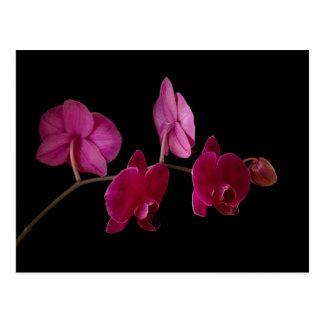 Carte Postale Orchidée rose de Dendrobium sur le noir -