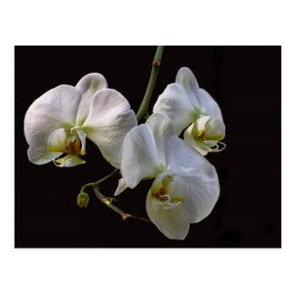 Carte Postale Orchidées blanches élégantes sur le noir