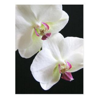 Carte Postale Orchidées blanches sur le noir