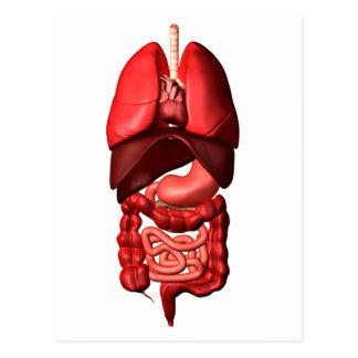 Carte Postale Organes du respiratoire et des appareils digestifs