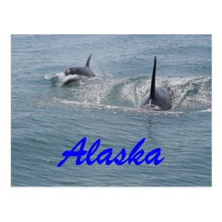 Carte Postale Orque et veau, Alaska