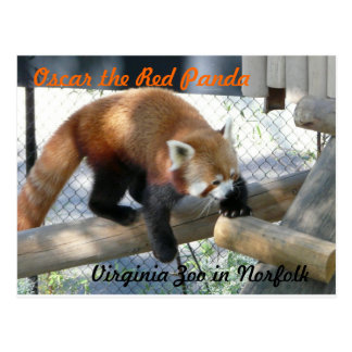 Carte Postale Oscar le panda rouge au zoo de la Norfolk