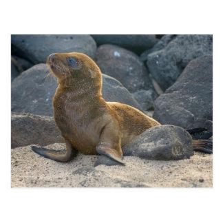 Carte Postale Otarie de Galapagos