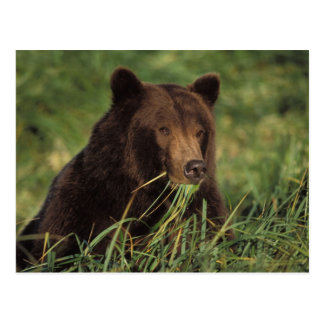 Carte Postale ours brun, arctos d'Ursus, ours gris, Ursus 7