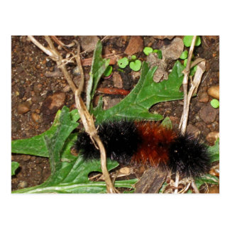 Carte Postale Ours Caterpillar laineux - photographie