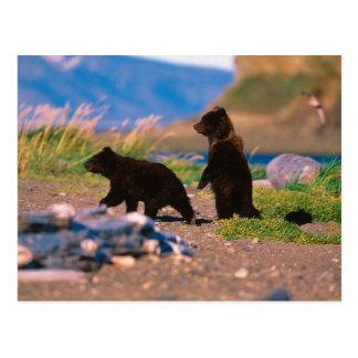 Carte Postale Ours de Brown, arctos d'Ursus, péninsule de