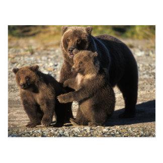 Carte Postale Ours de Brown, ours gris, truie avec des petits