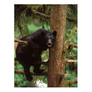 Carte Postale ours noir, Ursus américanus, truie dans un arbre