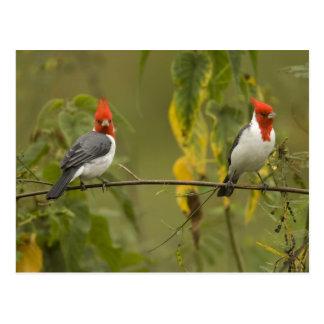 Carte Postale Paires cardinales à crête rouge, coronata de
