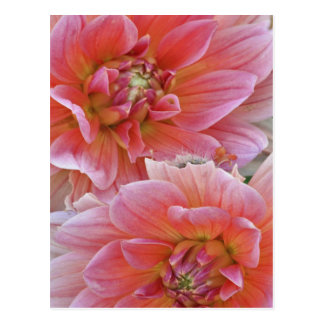 Carte Postale Paires de fleurs de dahlia, espèces de dahlia,