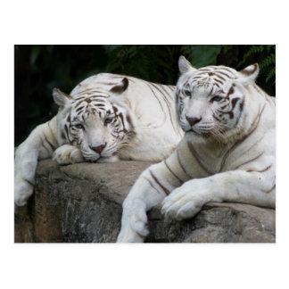 Carte Postale Paires de tigre