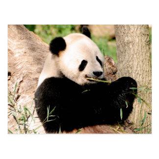 Carte Postale Panda chinois