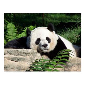 Carte Postale Panda géant faisant une sieste