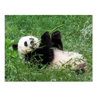 Carte Postale Panda géant Lounging mangeant le bambou