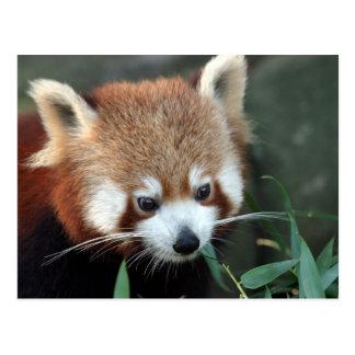Carte Postale Panda rouge, zoo de Taronga, Sydney, Australie