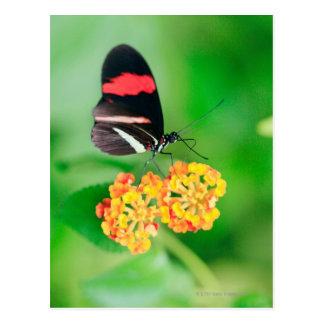 Carte Postale Papillon de rosina de facteur rassemblant le