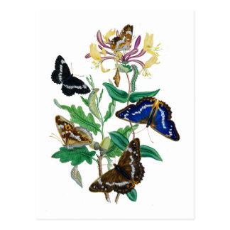 Carte Postale Papillons et chèvrefeuilles