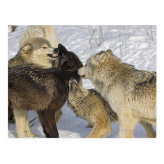 Carte Postale Paquet de loups agissant l'un sur l'autre