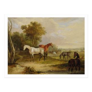 Carte Postale Pâturage de chevaux : Un étalon gris frôlant avec