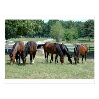 Carte Postale Pâturage des chevaux quarts