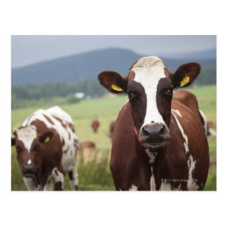Carte Postale Pâturage des vaches