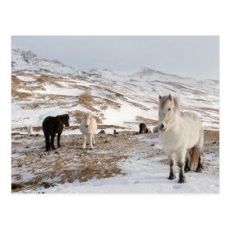 Carte Postale Paysage avec les chevaux islandais