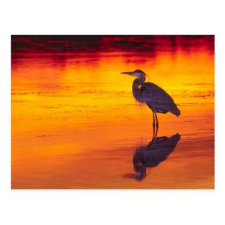 Carte Postale Pêche de héron de grand bleu (herodias d'Ardea) à