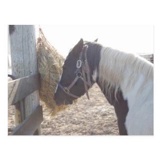 Carte Postale Peignez le cheval Pinto