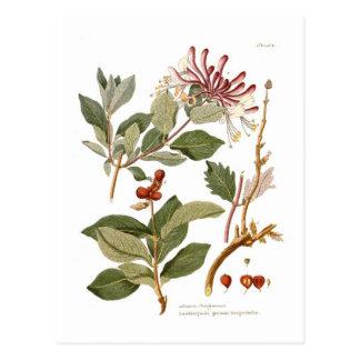 Carte Postale Periclymenum de Lonicera (chèvrefeuille)