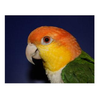 Carte Postale Perroquet coloré de caïque