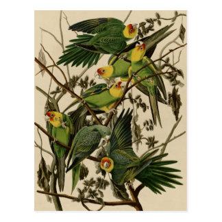 Carte Postale Perroquet de la Caroline
