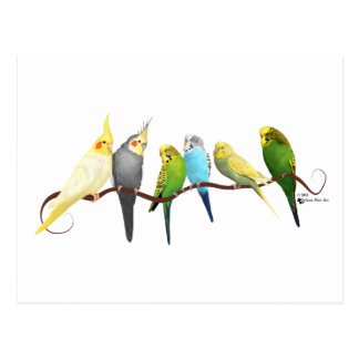 Carte Postale Perruches et Cockatiels !