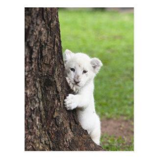 Carte Postale Petit animal de lion blanc se cachant derrière un