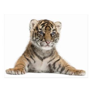Carte Postale Petit animal de tigre de Sumatran