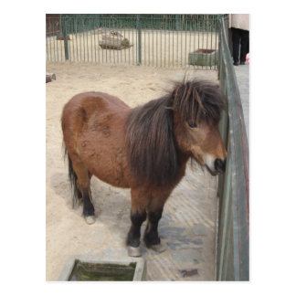 Carte Postale Petit poney