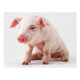 Carte Postale Petit porc