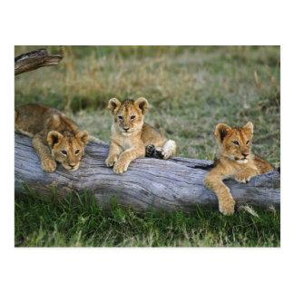 Carte Postale Petits animaux de lion sur le rondin, Panthera