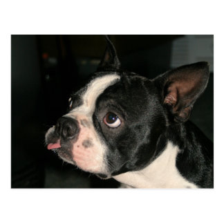 Carte postale Phhhhhtt de Boston Terrier !