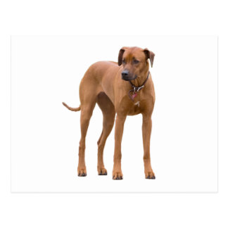 Carte Postale Photo de chien de Rhodesian Ridgeback belle
