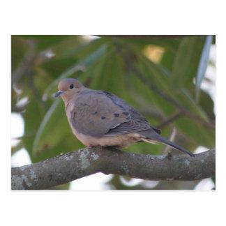 Carte Postale Photo de deuil de colombe