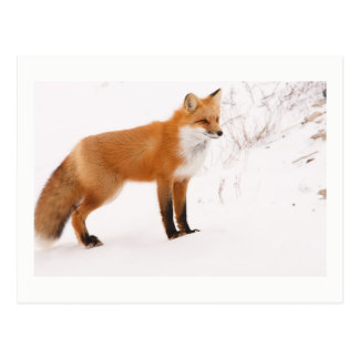 Carte Postale Photo de faune de nature de Fox rouge