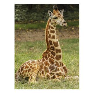 Carte Postale Photo de girafe