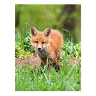 Carte Postale Photo de kit curieux de renard