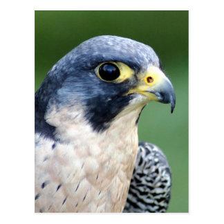 Carte Postale Photo de visage de faucon pérégrin