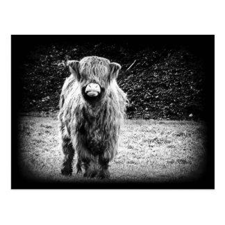 Carte Postale Photo des montagnes hirsute de vache (noir et